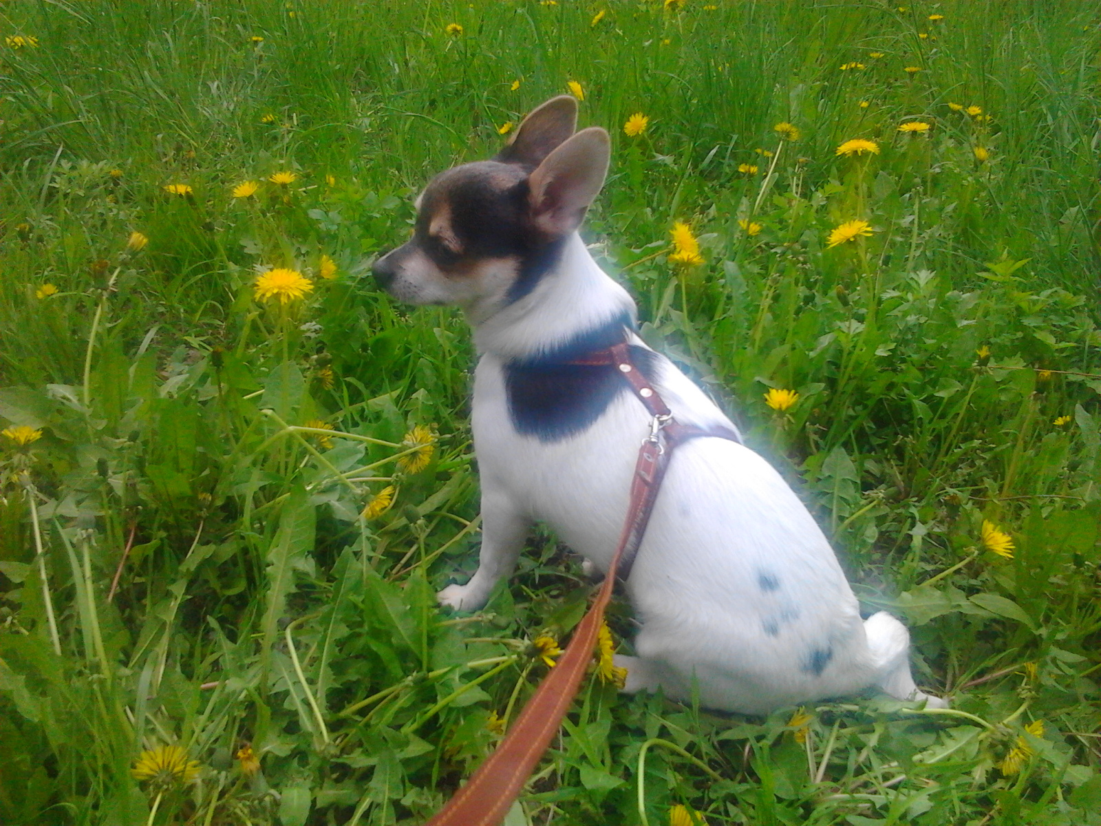 Идентификация собаки -чихуа или нет? - Страница 2 2rrb1pz