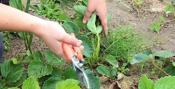 Садоводство и цветы - Страница 3 2s16o3l