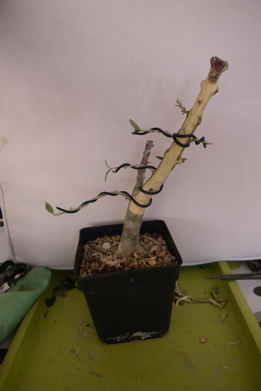 Mi primer olivo yamadori (ACTUALIZADO A VI/2018) - Página 2 2zppgtx