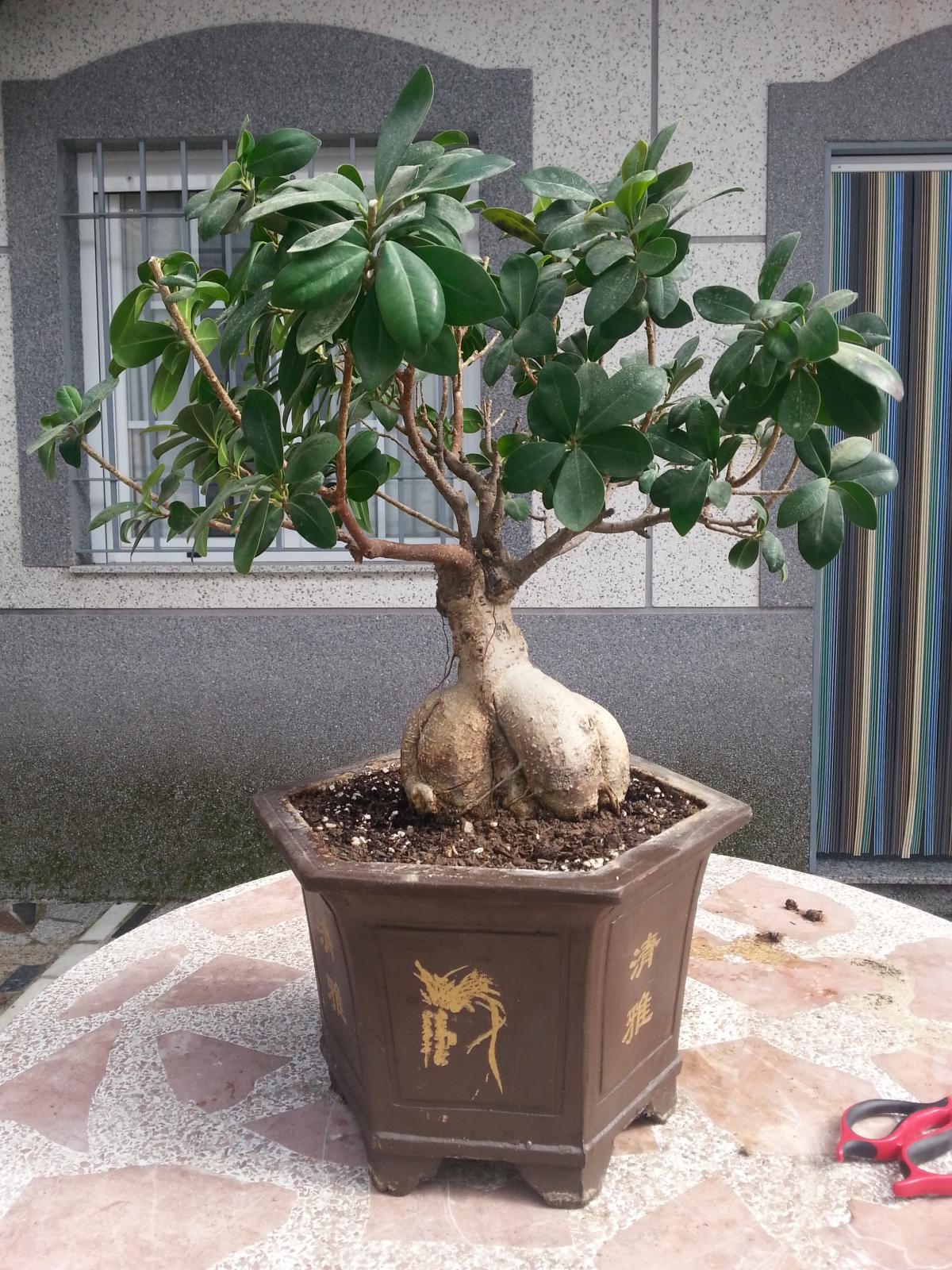 Mi Ficus Ginseng y yo - Evolución 30lctio