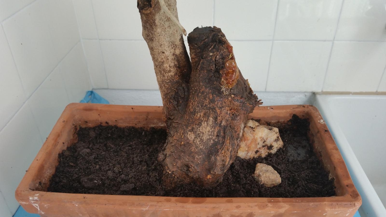 esqueje de tronco de olivo 3442jyu