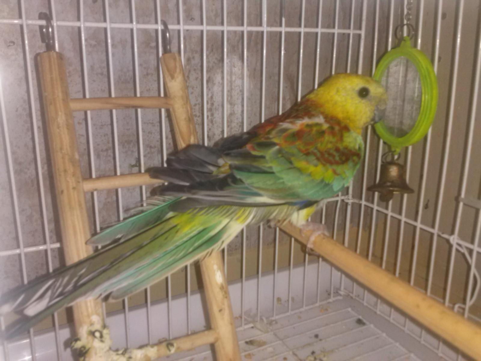 Pevajući papagaj(Psephotus  haematonotus) - Page 8 34gpnch