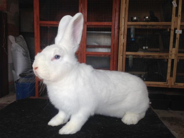 Венский белый кролик. 6dqxwi