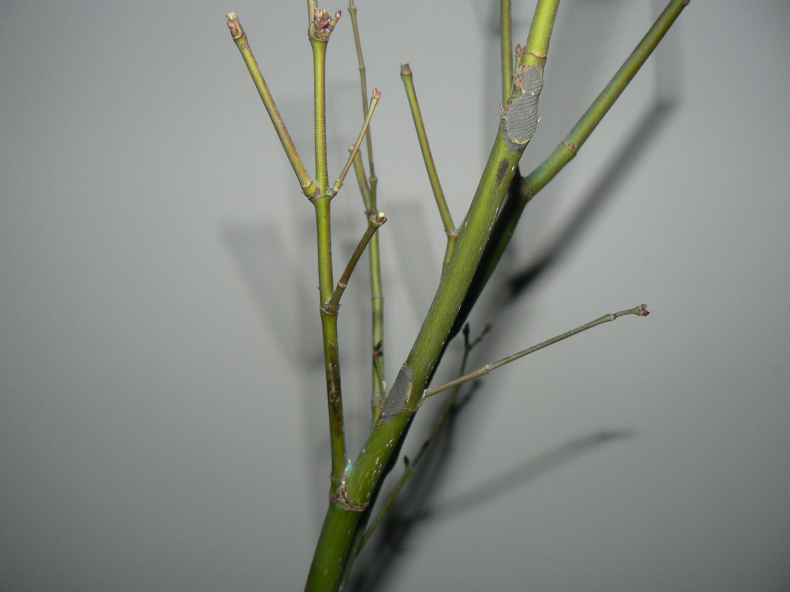 ¿Manchas negras en las ramas de mi arce? 6gdbgy