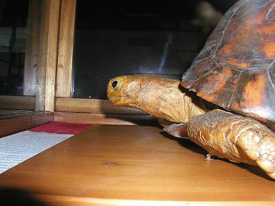 Tu'i Malila - Provavelmente a tartaruga com maior longevidade de sempre. 6nt3bc