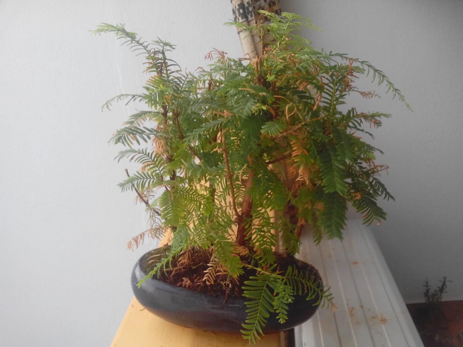 Mi bosque metasequoya se está secando 95ppvm