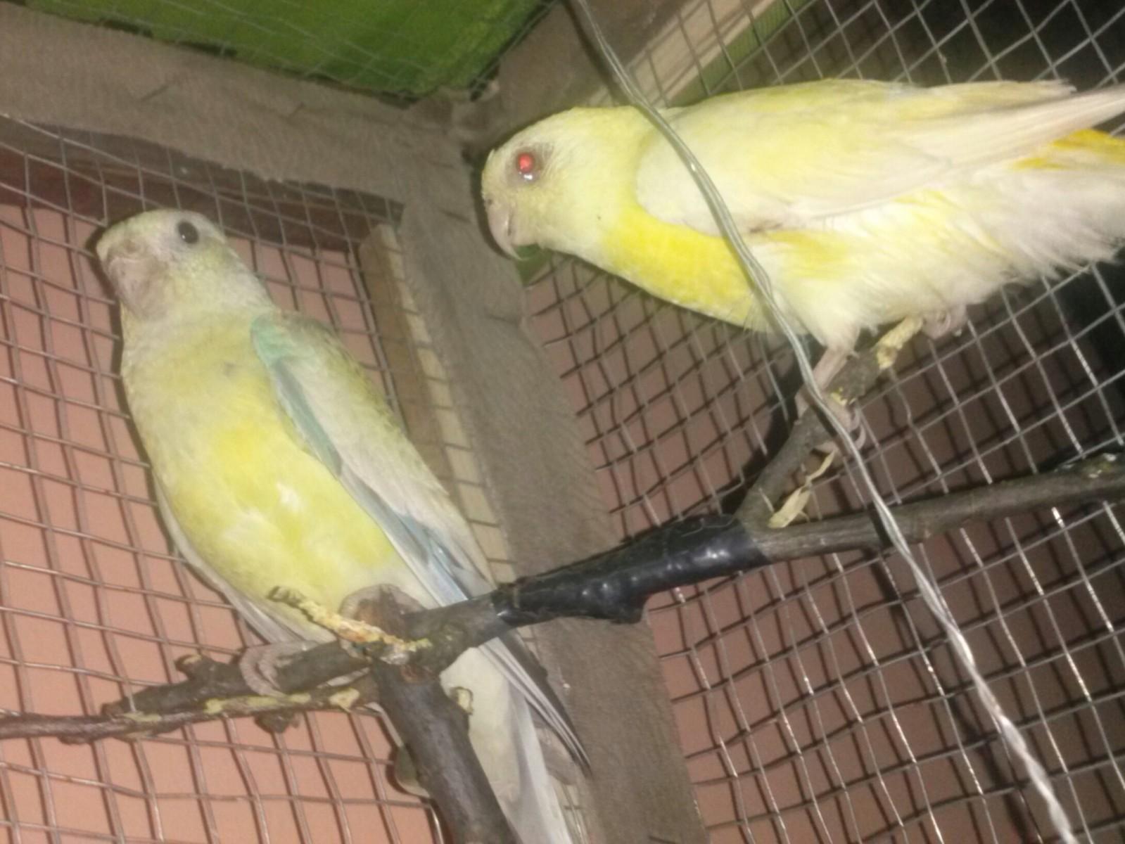 Pevajući papagaj(Psephotus  haematonotus) - Page 8 A13ih4