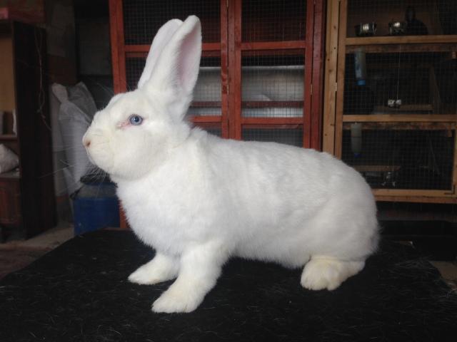Венский белый кролик. Ao2duc