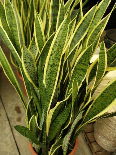 esta planta (Sanseviera o algo así)... Av1x8o