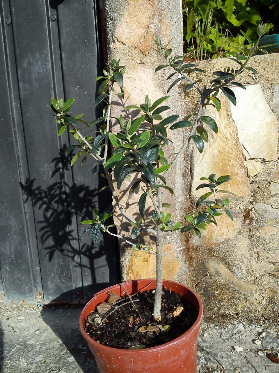 prebonsai olivo Dyrxo4