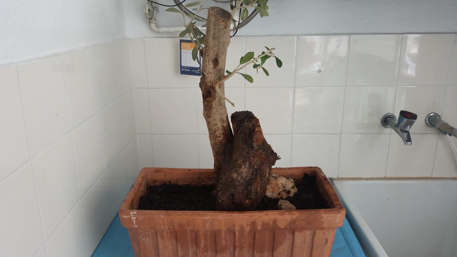 esqueje de tronco de olivo Ve3ayq