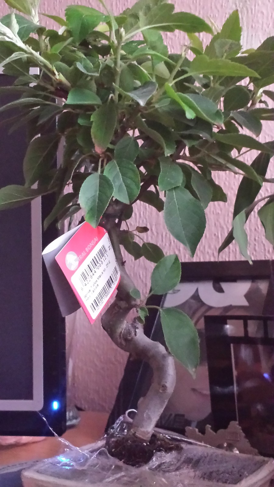Problema con mi primer bonsai malus spp.  Vnck1h