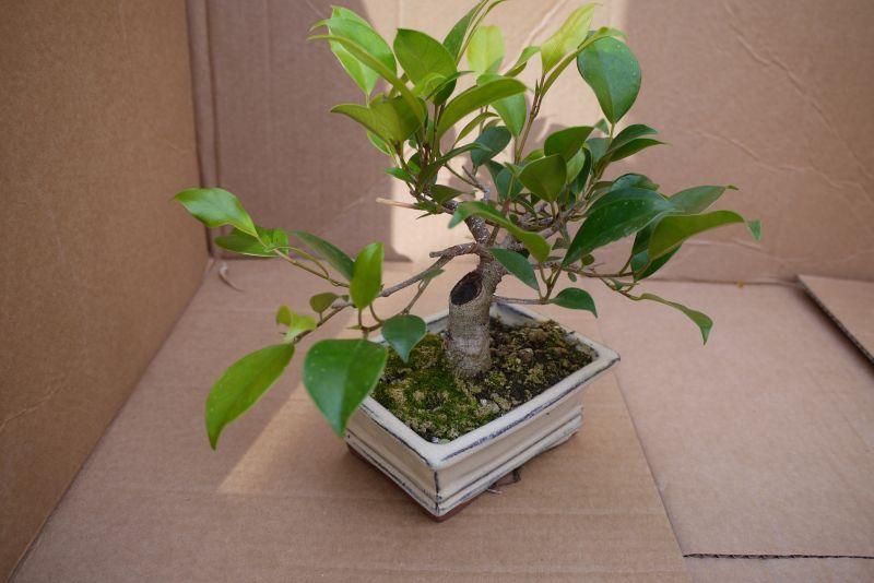 Primeros pasos de un Ficus tamaño shohin 10rk379