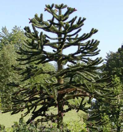 Semillero de Pinus thunbergii: esquejado 1126ao2