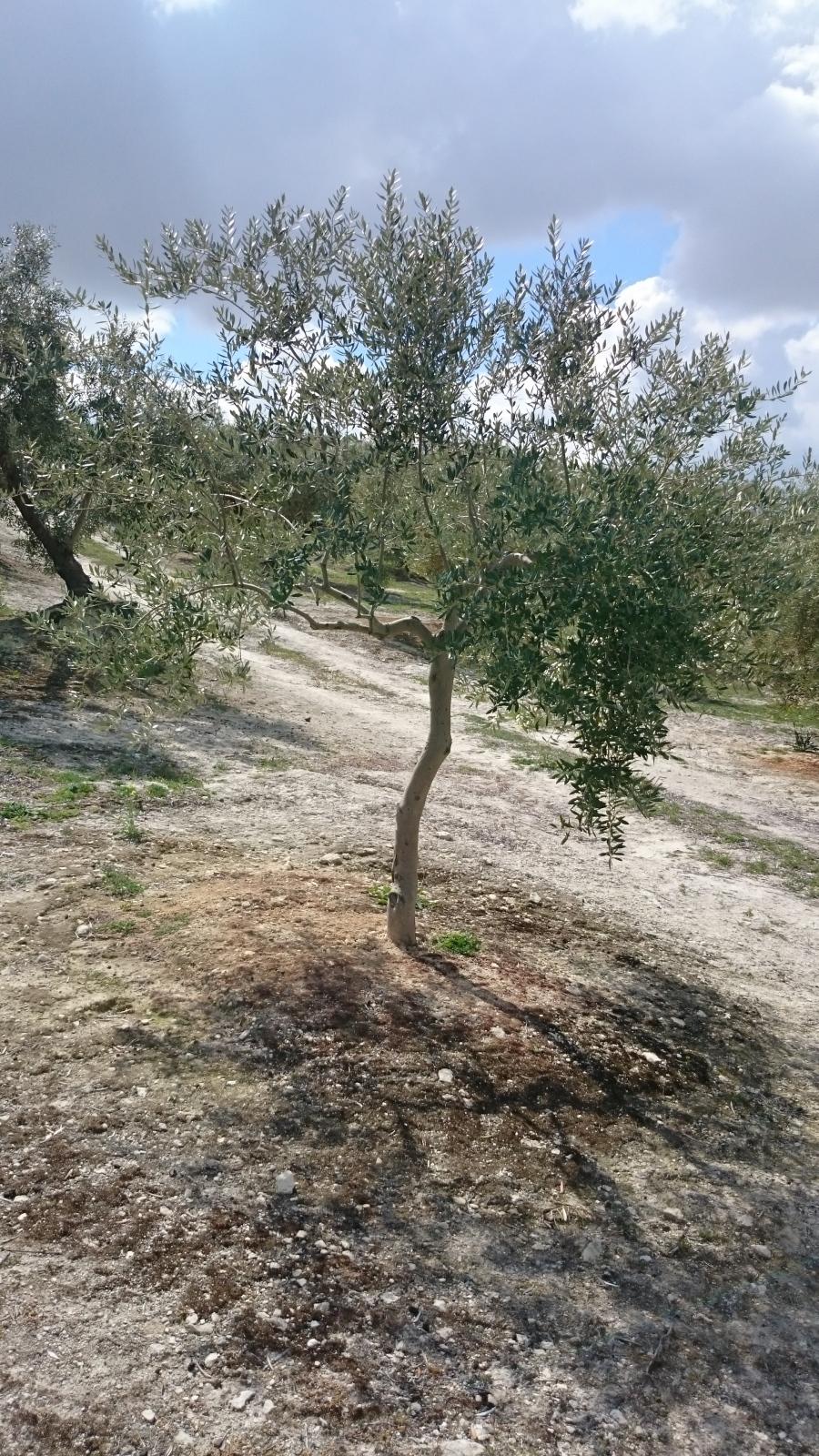 Crecimiento de plantones olivo - Página 9 11hgymr