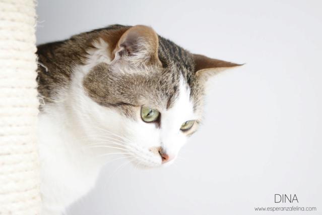 Dina, preciosa gata busca su hogar (Álava, fecha de nacimiento aproximada 10/04/2014 ) 149qhya