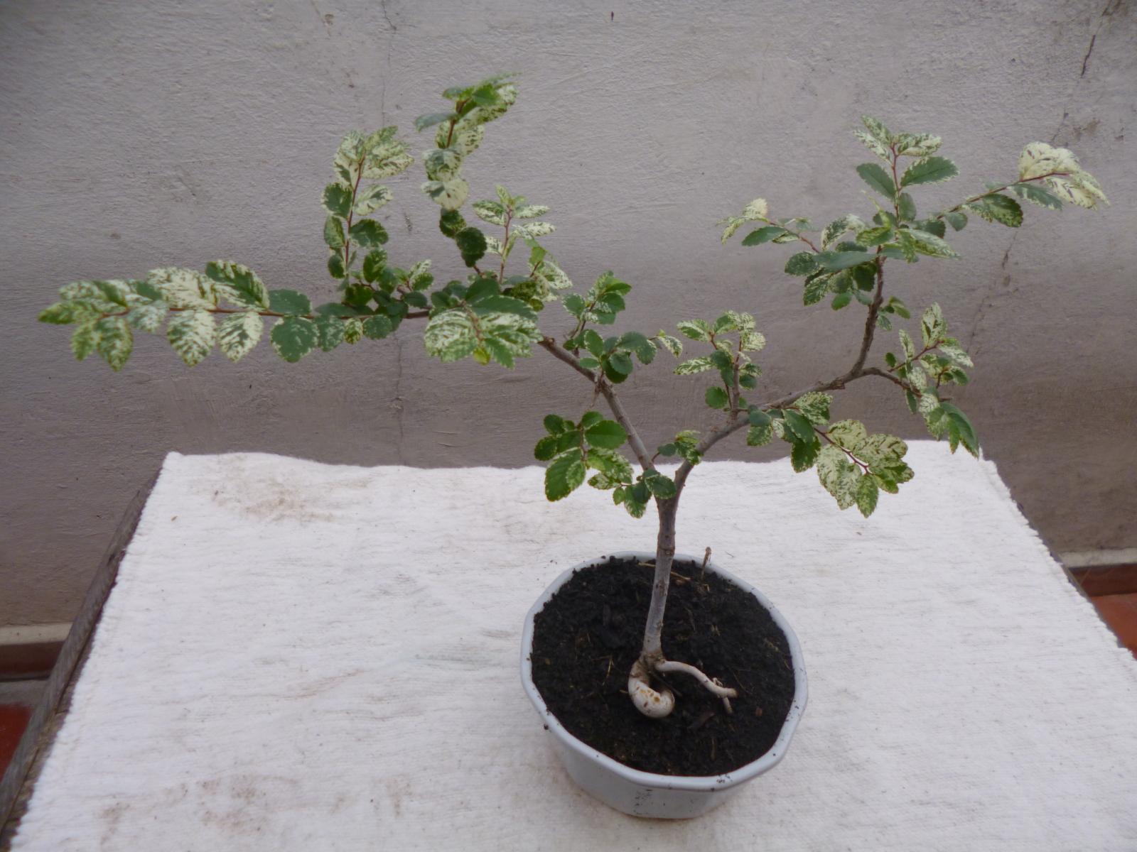 Mis bonsais 16240wj