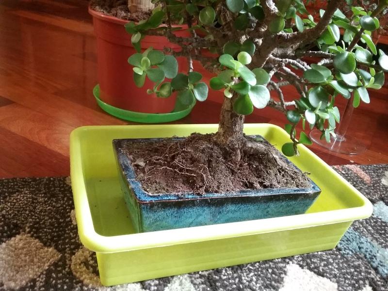 Mi primer bonsai 16gjz2v