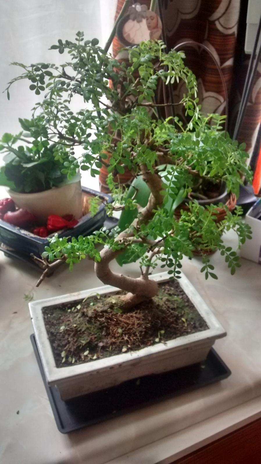 Pimentero japones, algunas ramas se estan poniendo mustias 2eeh7id