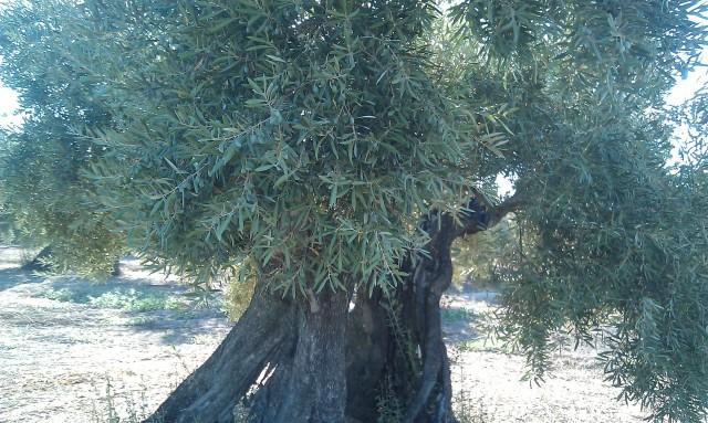 Olivar a finales de verano en Sierra Morena y el alto Guadalquivir 2iasn07