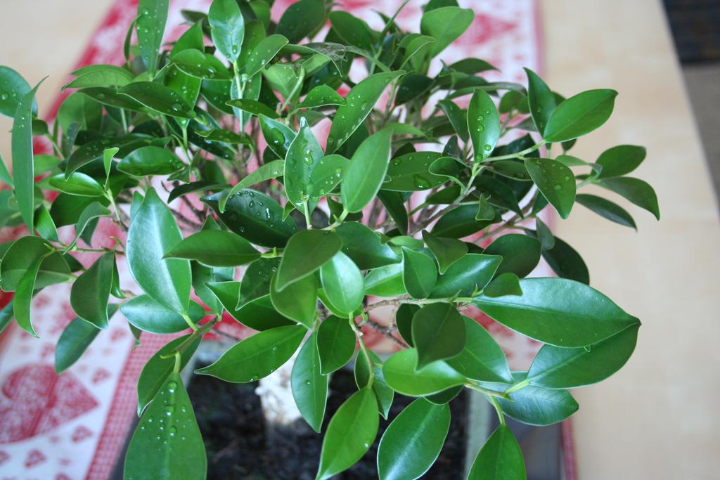 Mi primera vez: Ficus Retusa (muchas preguntas) 2m4c5s7