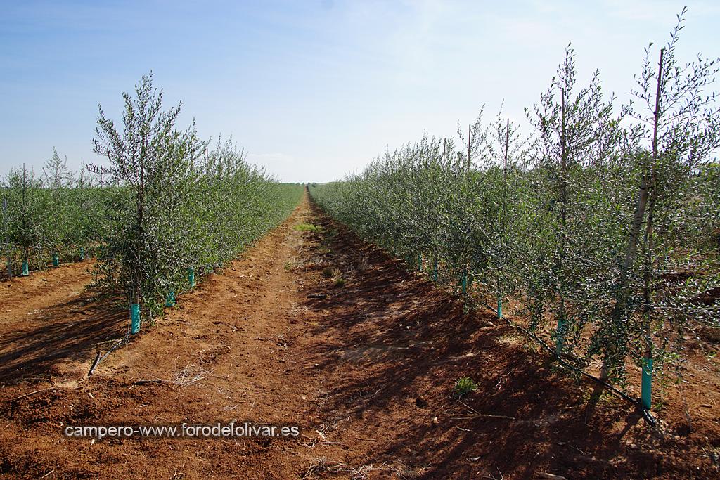 Plantación de olivar superintensivo en emparrado (Badajoz) 2mpc186