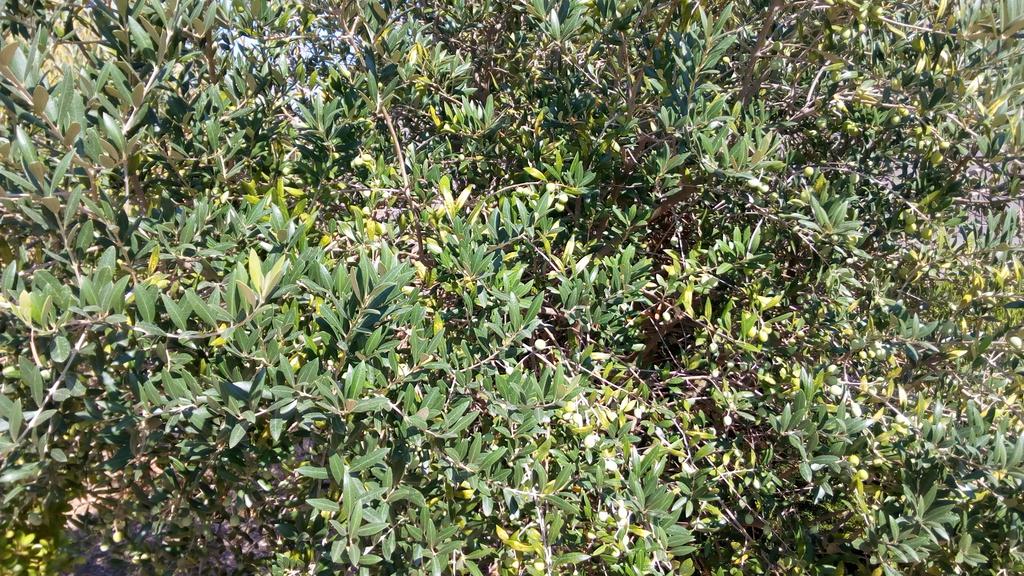 ¿Alguien me puede ayudar a identificar qué tipo de olivos tengo? 2ugdieh