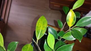 Ficus con hojas amarillas y manchas negras 2wmjex3