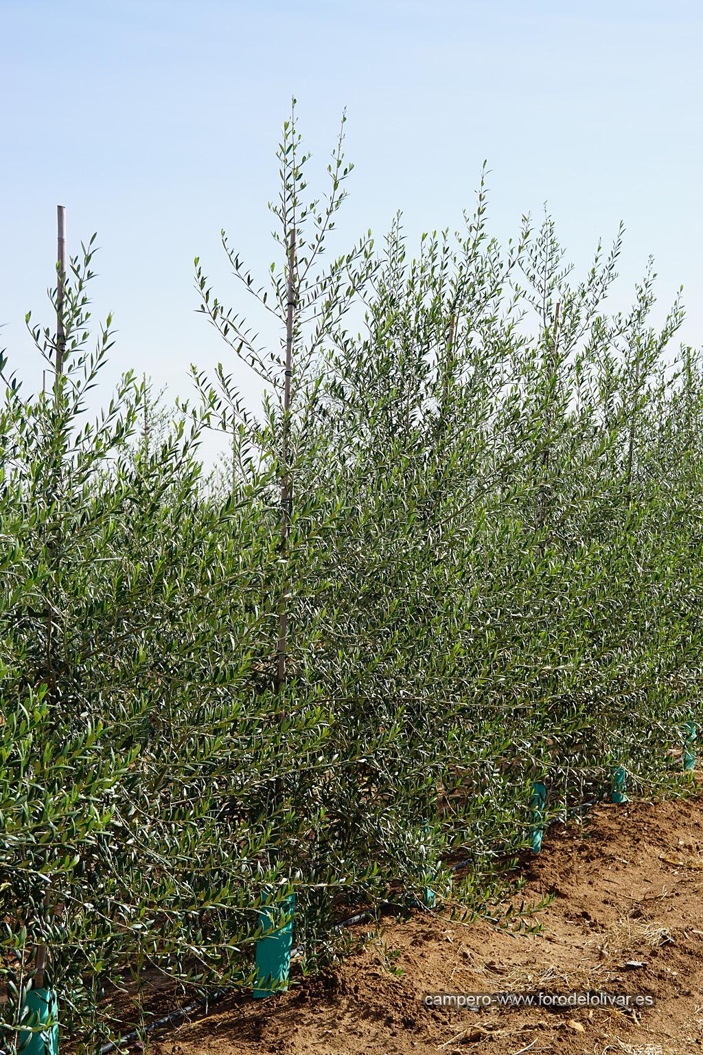 Plantación de olivar superintensivo en emparrado (Badajoz) 33k9eab