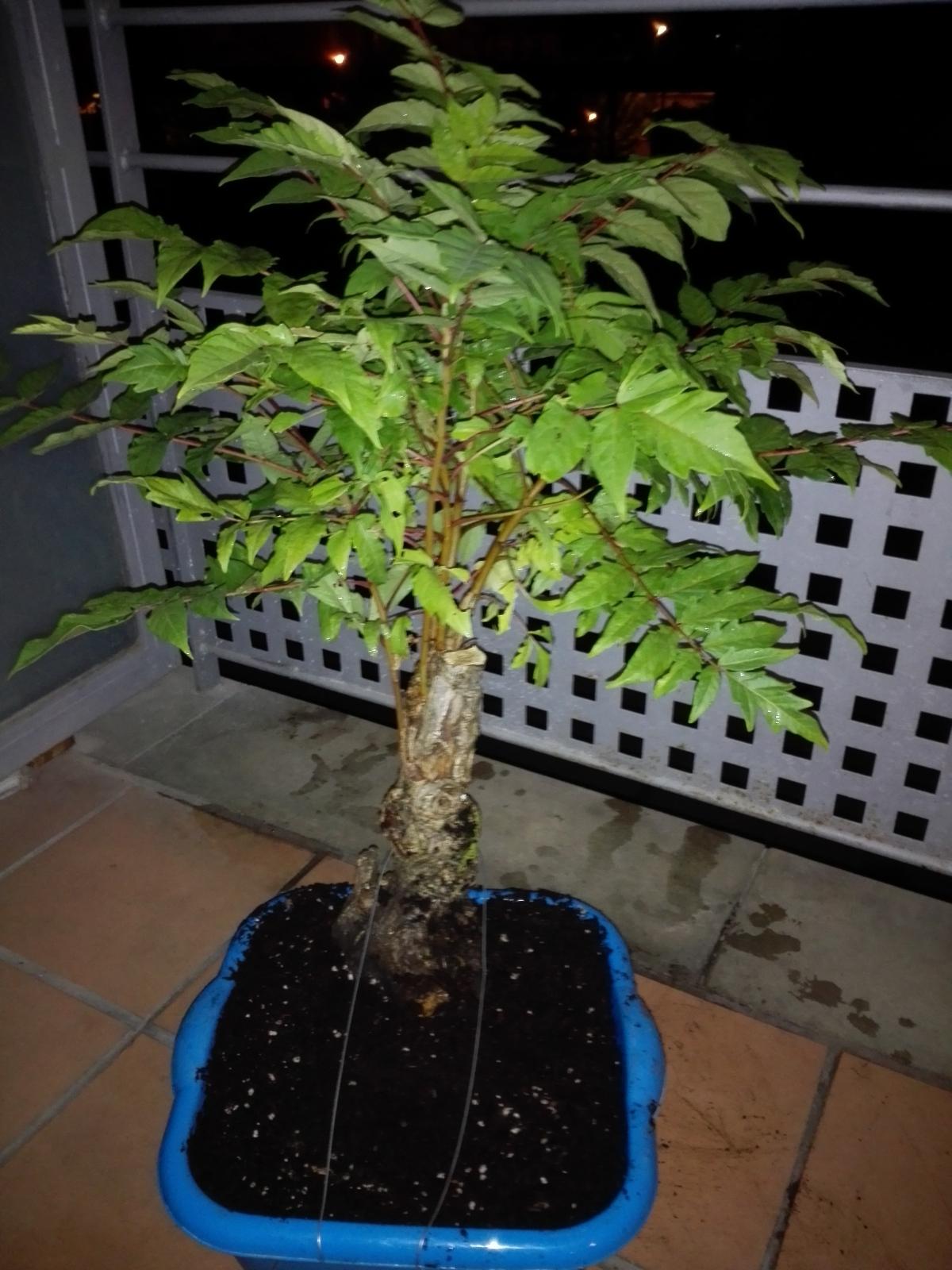 Recuperación, ailanthus altissima? 709wnq