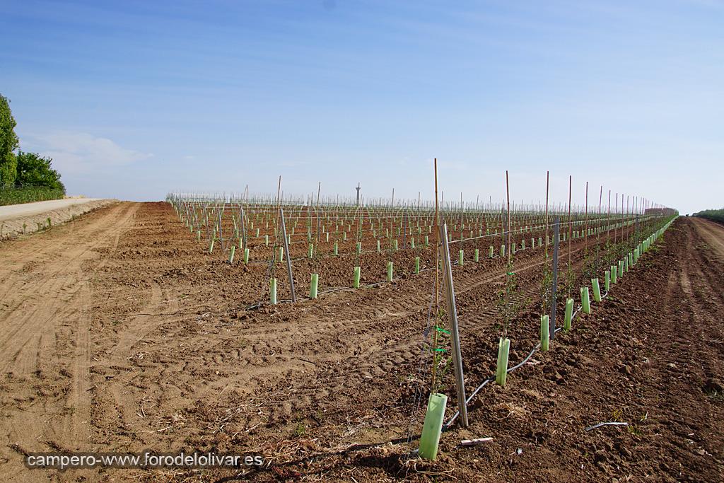 Plantación de olivar superintensivo en emparrado (Badajoz) Azav4w