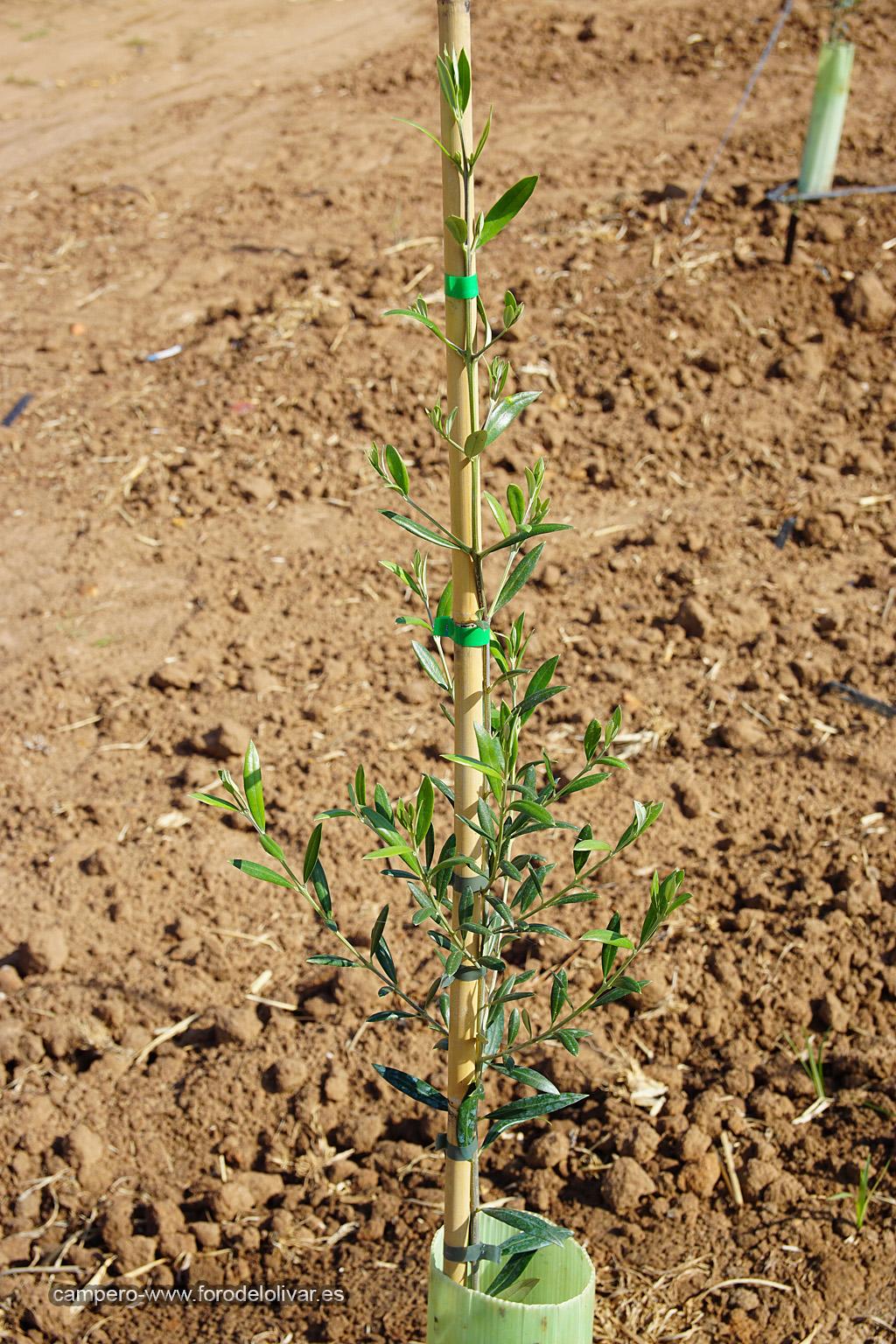 Plantación de olivar superintensivo en emparrado (Badajoz) Dfnzq