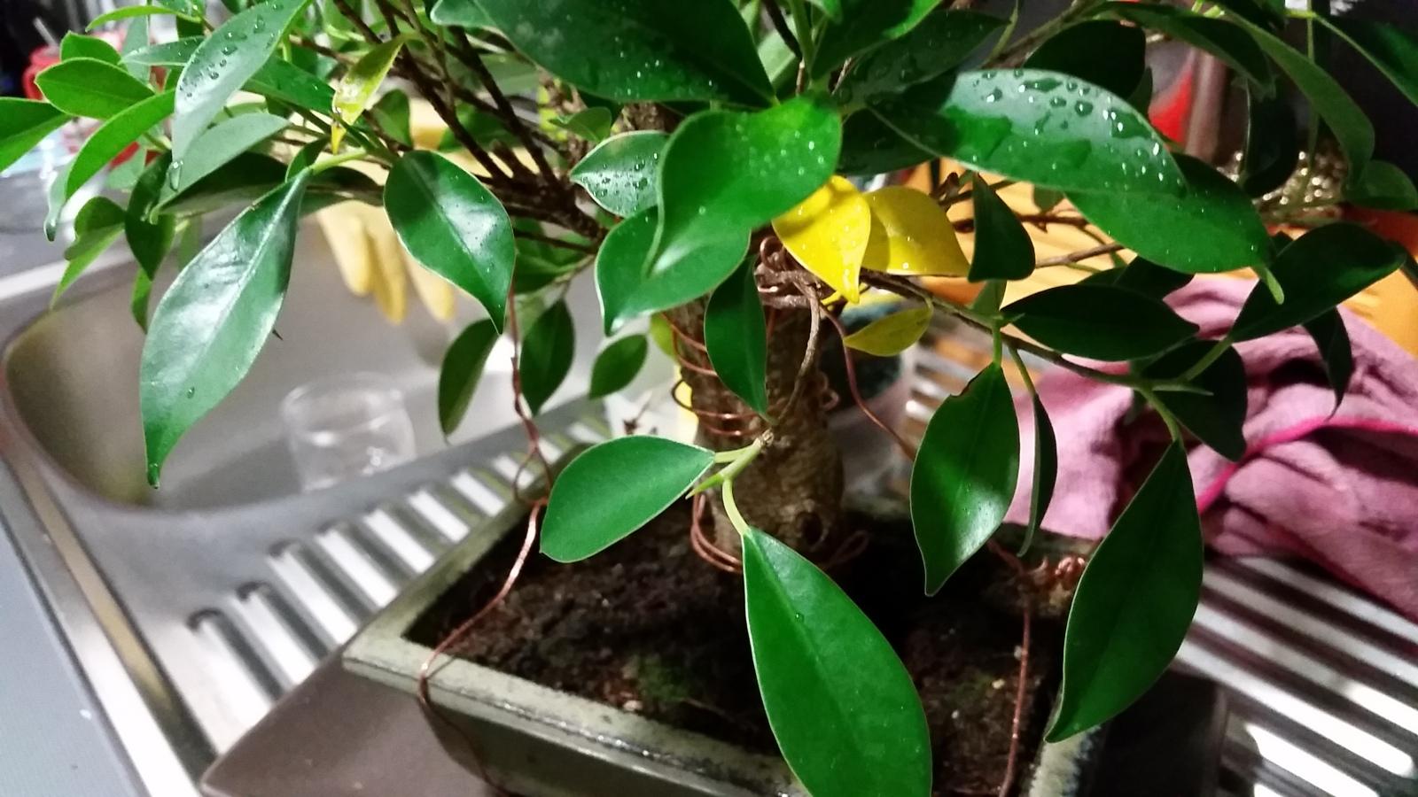 Mi primera vez: Ficus Retusa (muchas preguntas) E0icl0