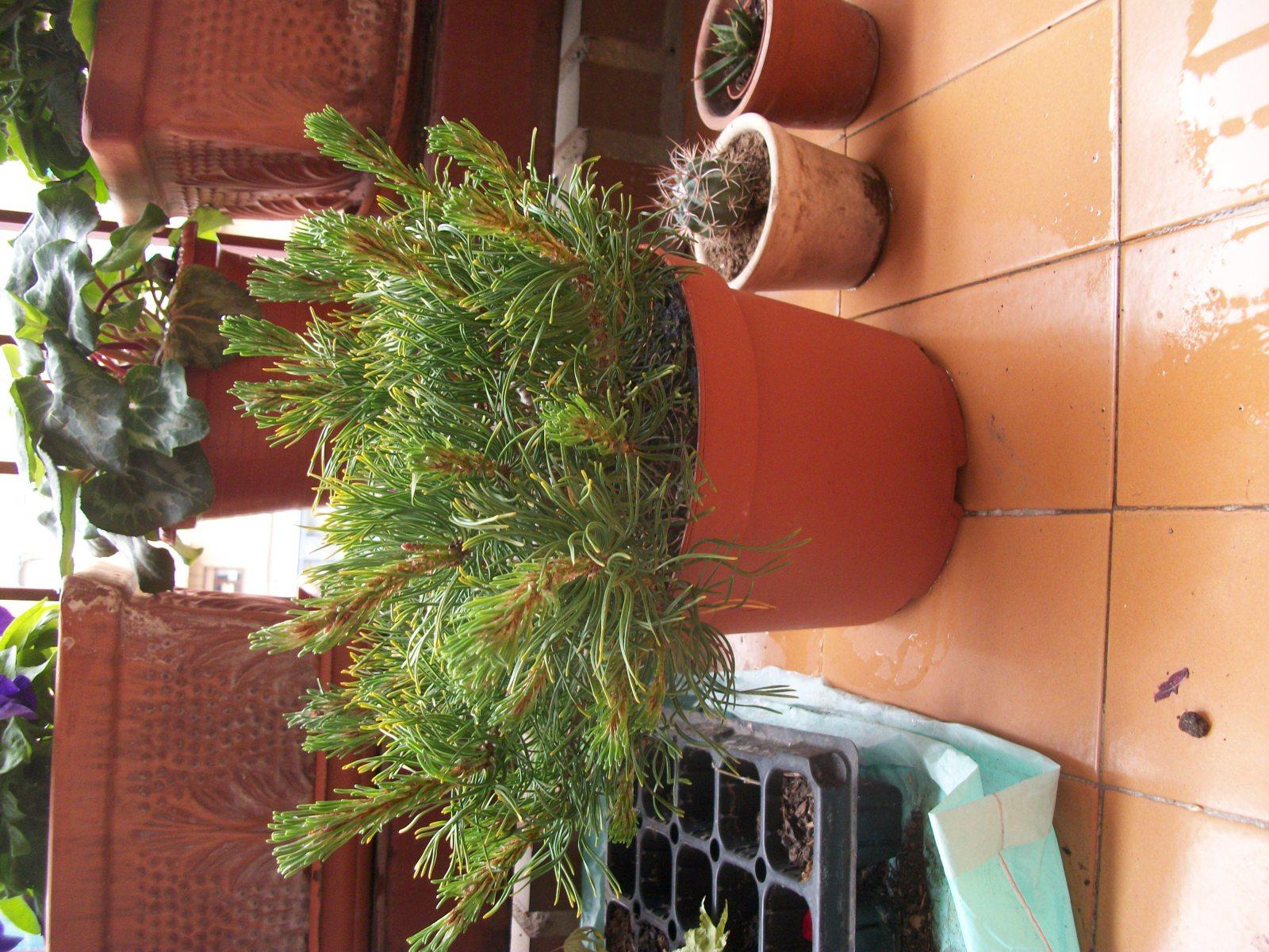 Trasplante pinus mugo F9r4n9