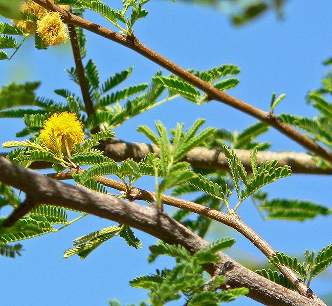كل ما يتعلق بشجرة السنط ( الصمغ العربى – القرض )   Kew2hj