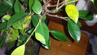 Ficus con hojas amarillas y manchas negras Ofx8q1