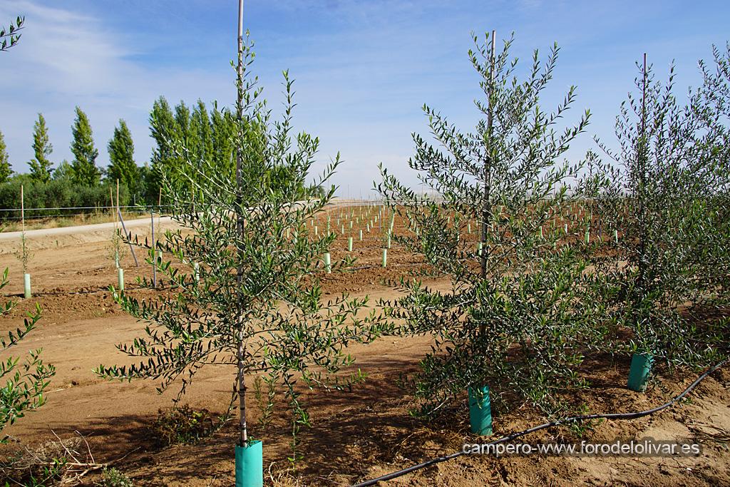 Plantación de olivar superintensivo en emparrado (Badajoz) Waja00