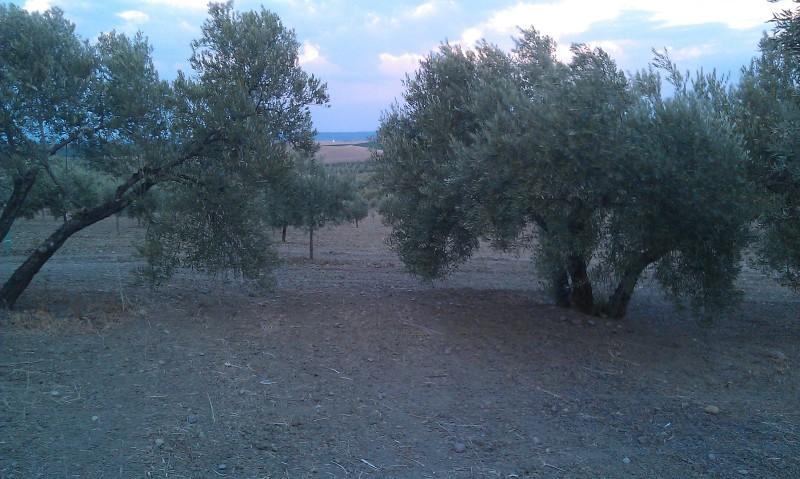Olivar a finales de verano en Sierra Morena y el alto Guadalquivir - Página 3 Wufgp4