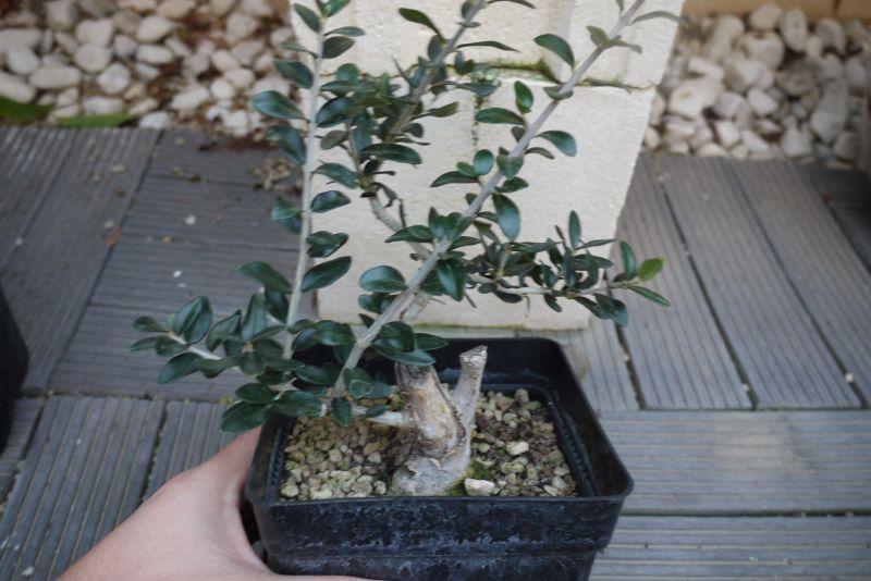 Mi primer olivo yamadori (ACTUALIZADO A VI/2018) - Página 2 14j27oh