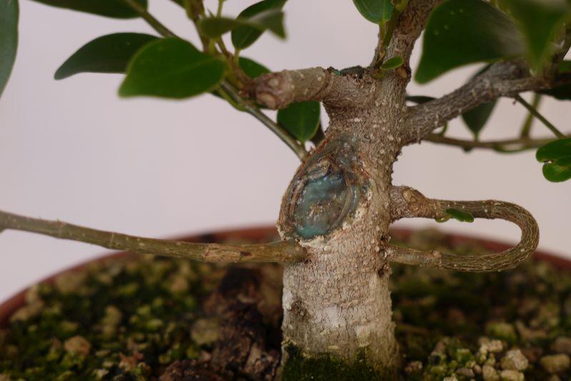 Primeros pasos de un Ficus tamaño shohin 14sftz7