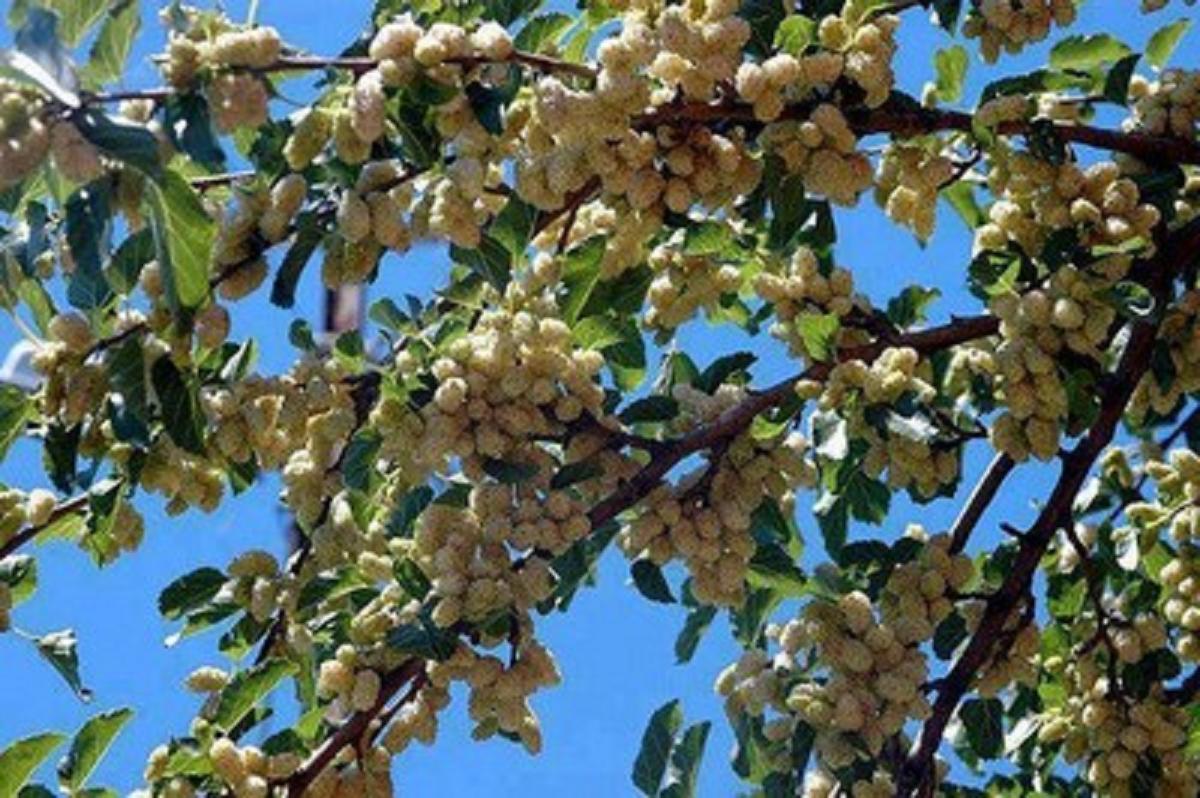 أشجار التوت وفوائده.  16m51qc