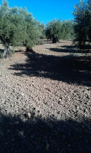 Olivar a finales de verano en Sierra Morena y el alto Guadalquivir 2cdy69t