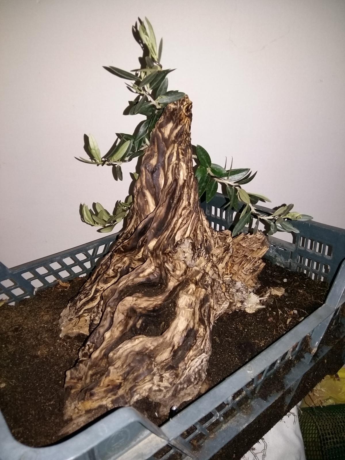 Mi primer yamadori: olivo 2cnxt1x