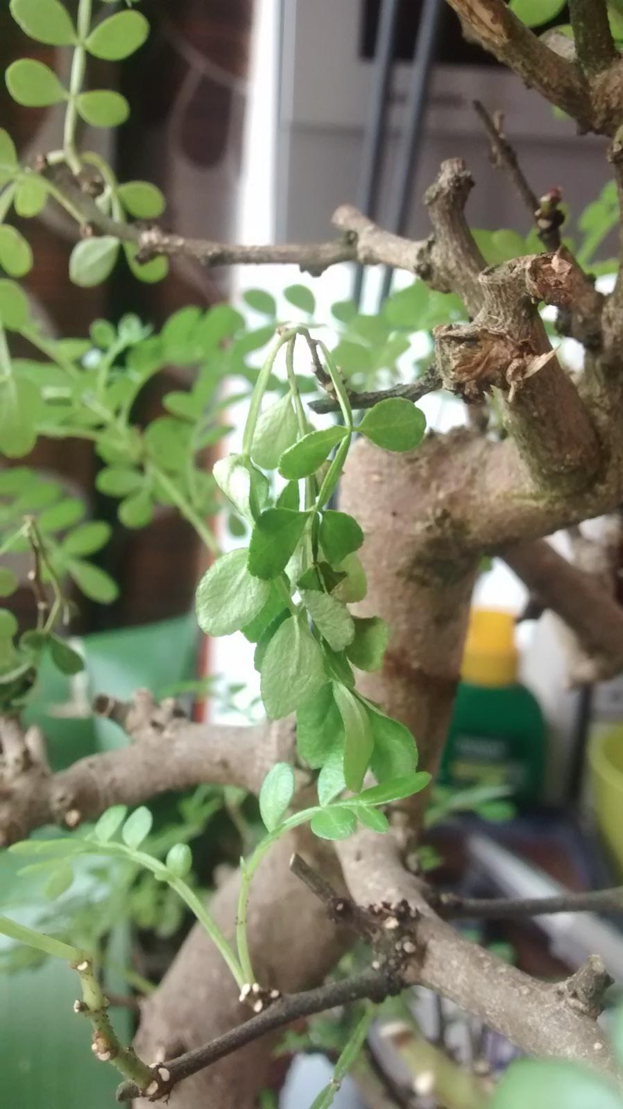 Pimentero japones, algunas ramas se estan poniendo mustias 2illz75