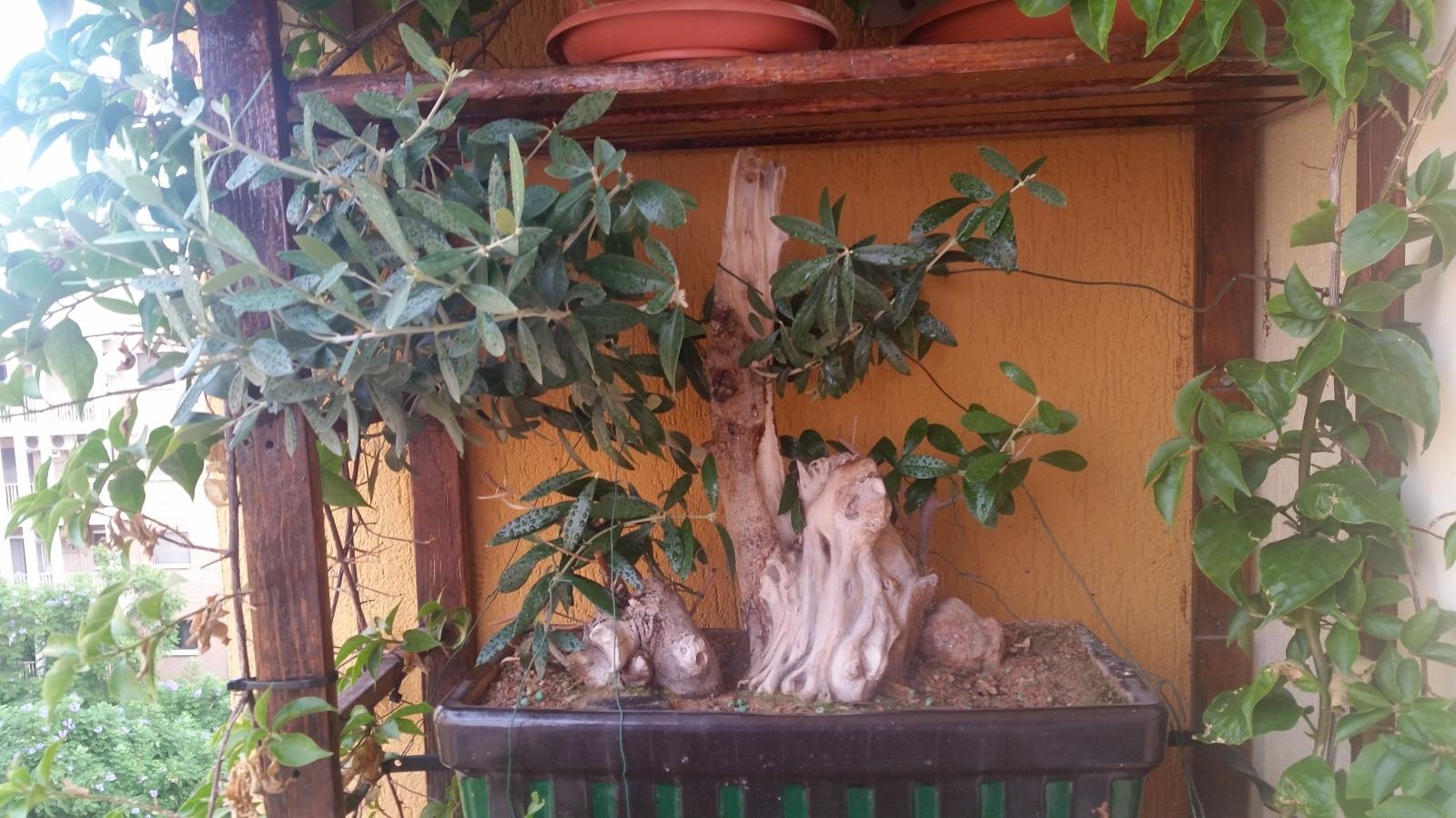 esqueje de tronco de olivo 2mnj0b8