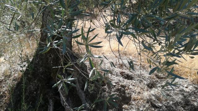 Olivar a finales de verano en Sierra Morena y el alto Guadalquivir - Página 2 2pruvcn