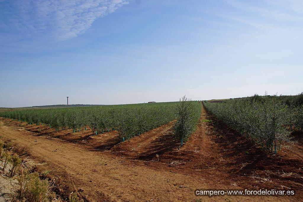 Plantación de olivar superintensivo en emparrado (Badajoz) 2ufgi14