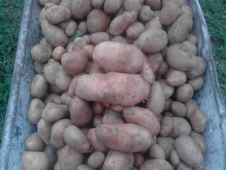 Krumpir       - Page 5 2vrs93c