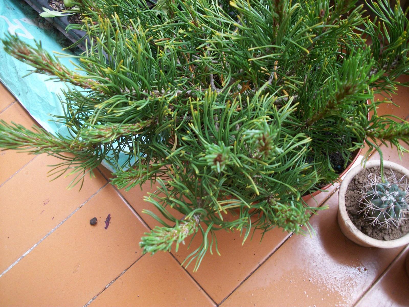 Trasplante pinus mugo 5bbwqd