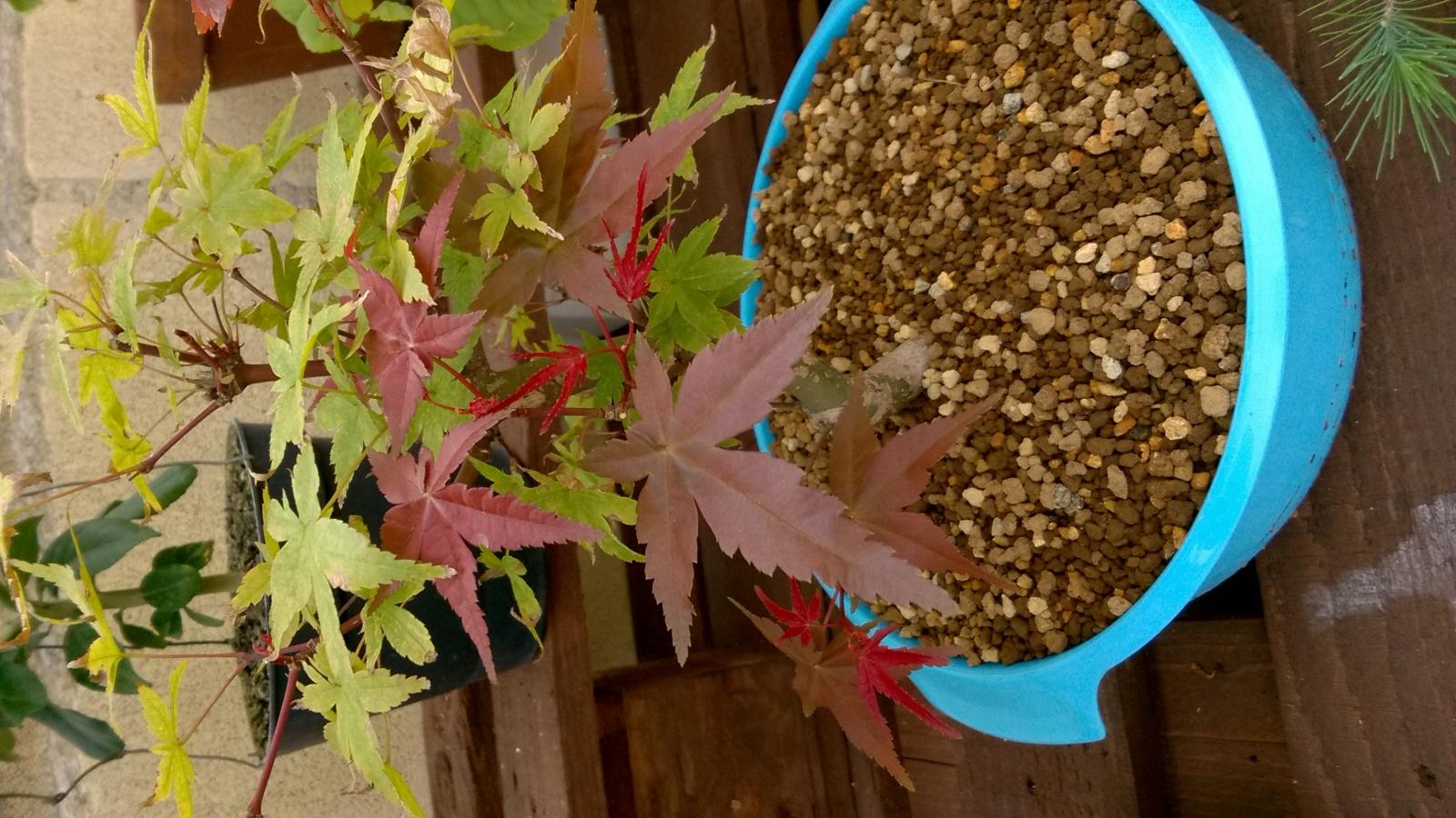 Acer palmatum brotando en septiembre 6y2l1t